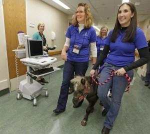 Caballos miniatura en un hospital para confortar y distraer a los pacientes.