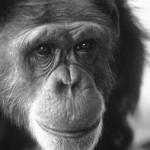 Washoe, un chimpancé que hablaba mediante el mismo sistema que emplean los sordomudos.