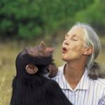 Los chimpancés pueden aprender el lenguaje de signos de los sordos. Son capaces de aprender más de cuatrocientos signos.