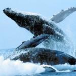 La forma principal a través de la cual se comunica una ballena es el sonido (podrían estar cantando para atraer una hembra, para desafiar a otro macho, de llamada para sus crías o para informar su ubicación), pero también utilizan el lenguaje corporal para comunicarse.