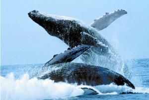 La forma principal a través de la cual se comunica una ballena es el sonido, pero también utilizan el lenguaje corporal para ello.