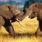 Durante las manifestaciones de competencia, los individuos de las especies animales sostienen momentos esenciales durante los cuales tienen muchas cosas que decirse.