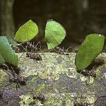 Las hormigas obreras marcan el camino recorrido con una señal olorosa para dejar un rastro olfativo que facilite el tráfico de las compañeras.