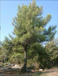 Pinus alepensis.