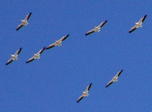 Las teorías sobre lo que observó Arnold son varias, llegando incluso a afirmarse que lo que vio no fue más que una simple bandada de pelícanos blancos americanos volando en formación.