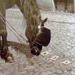 El caballo Hans reconociendo números.