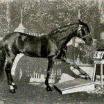 """El caballo Hans """"respondiendo"""" preguntas."""